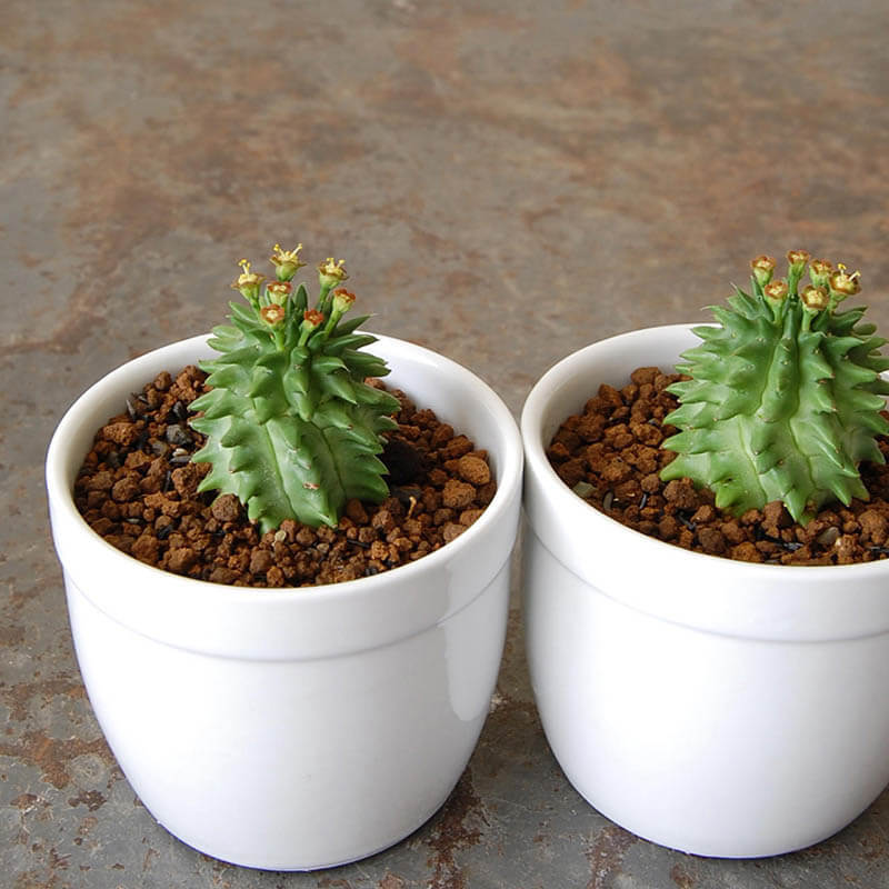 瑠璃晃 / Euphorbia