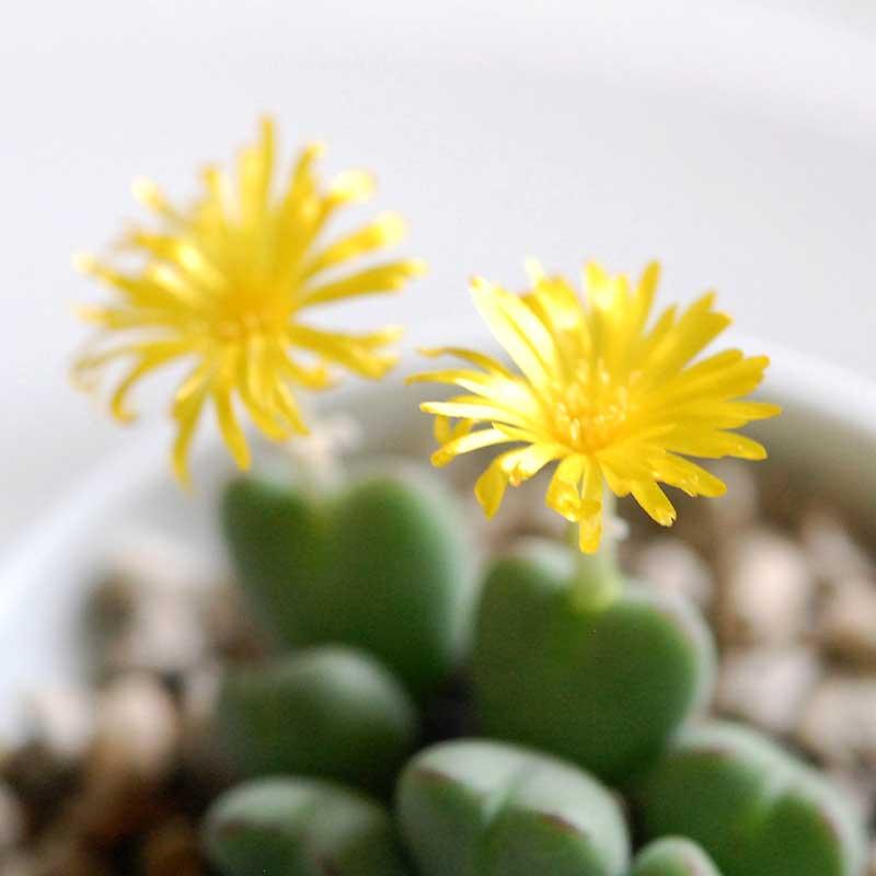 ベイポルティティー / Conophytum