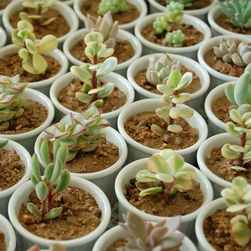 Cocotte cacti / Echeveria - プチギフト