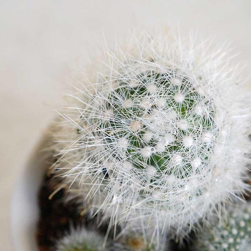 白いサボテンの寄せ植え x 渡邉由紀さんの器(白)