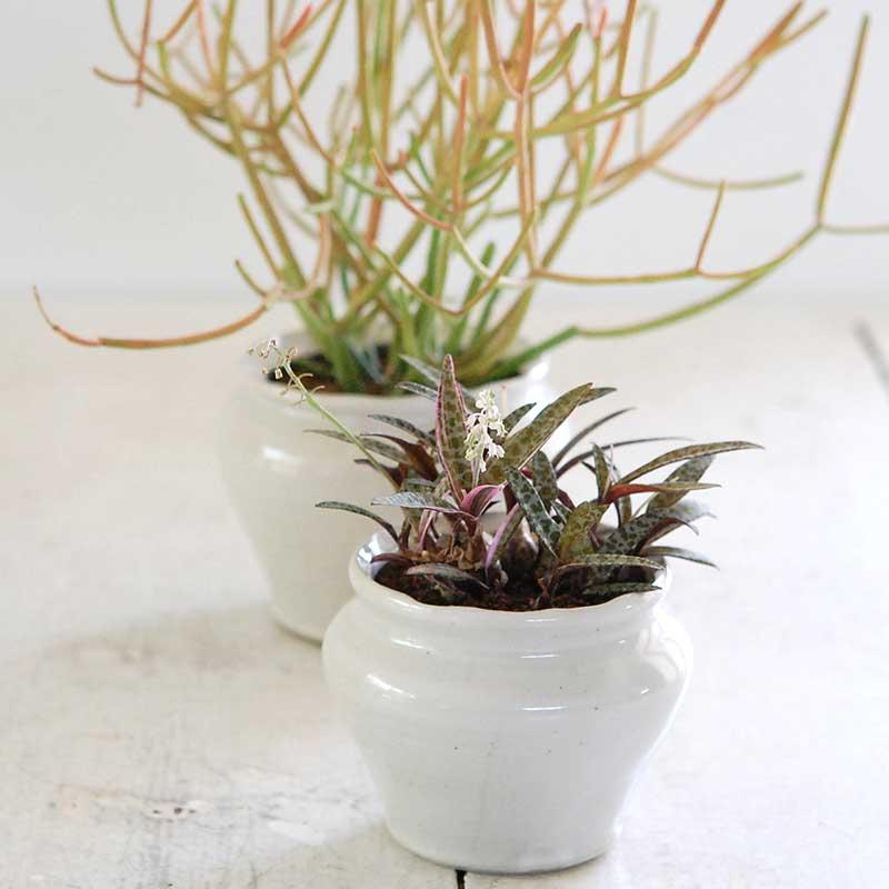 多肉植物(ビオラセラ・ミルクブッシュ) x 渡邉由紀さんの器