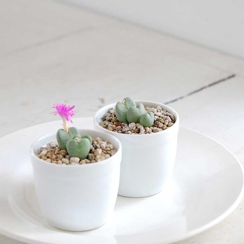 稚児桜 / Conophytum