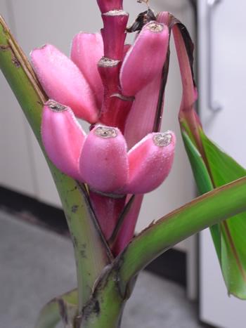 SONIA(ソニア) ピンクのバナナの種 10粒