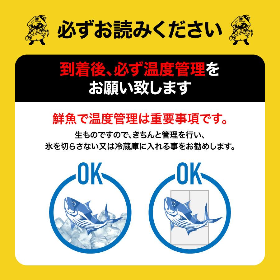 【養殖 シマアジ 】 重量 約1.2~1.5kg 津本式 仕立て師:佐古勝 佐古勝仕立て究極の血抜き 和歌山県から発送