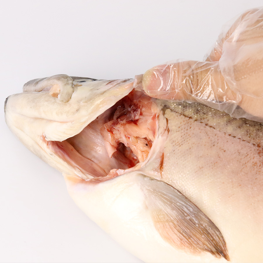 【養殖 いわなが鱒】重量 約1.5~2.0kg 津本光弘本人仕立て究極の血抜き 宮崎県から発送
