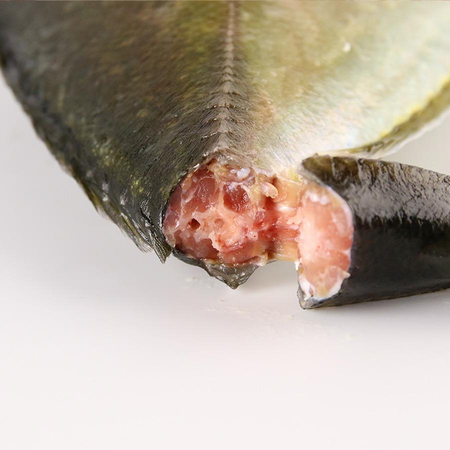 【養殖 シマアジ 】 重量  約1.0~1.2kg 津本式 津本光弘 本人仕立て 究極の血抜き 宮崎県から発送 津本式 血抜き 鮮魚 メディア 鮮魚革命 「 著書 究極の血抜き 津本式 」で紹介 刺身 youtube 人気