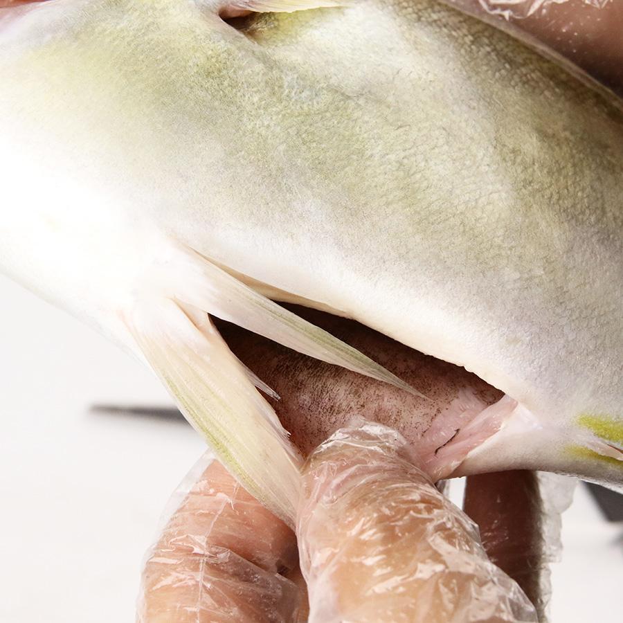 【養殖 シマアジ 】重量 約1.0~1.2kg ×2尾入り 津本式 津本光弘 本人仕立て 究極の血抜き 宮崎県から発送 津本式 血抜き 鮮魚 メディア 鮮魚革命 「 著書 究極の血抜き 津本式 」で紹介 刺身 youtube 人気