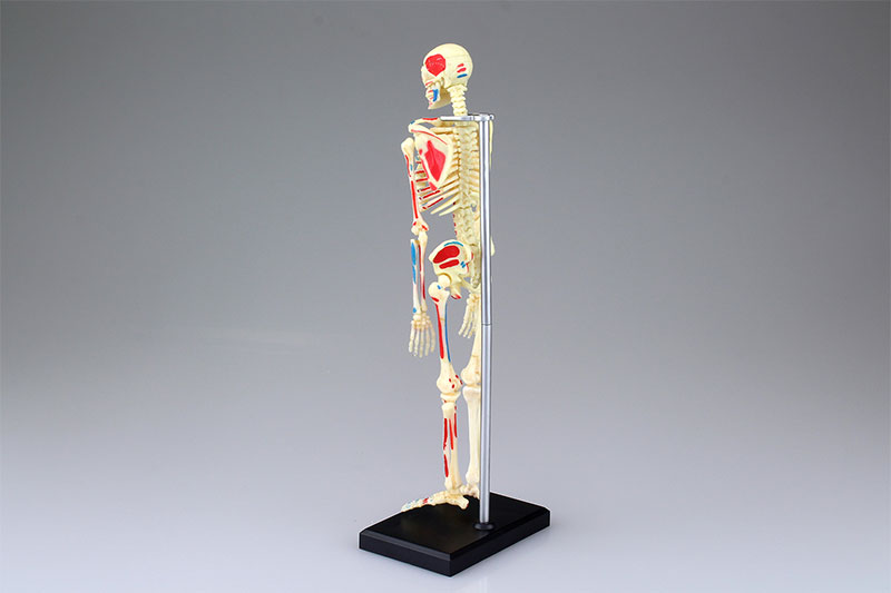 4D VISION 人体解剖モデル 全身骨格解剖モデル