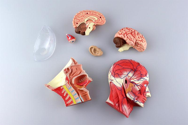 アオシマ 4D VISION 立体パズル No.11 人体解剖モデル 頭部断面解剖モデル
