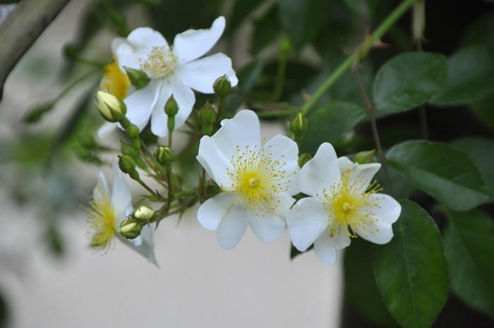 バラ苗【6号新苗】ロサムリガニー (Sp白) 国産苗 6号鉢植え品《J-OC20》 0707販売