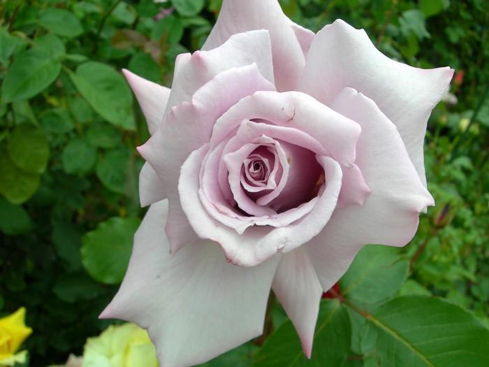 【大苗】バラ苗 レディエックス (HT紫) 国産苗 6号鉢植え品《J-HT20》