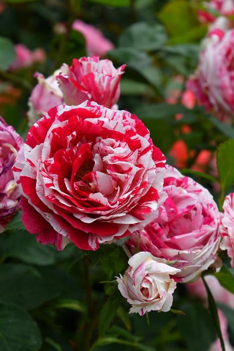【大苗】バラ苗 センチメンタル (Fl絞赤白) 国産苗 6号鉢植え品《YM-B_J-MB》