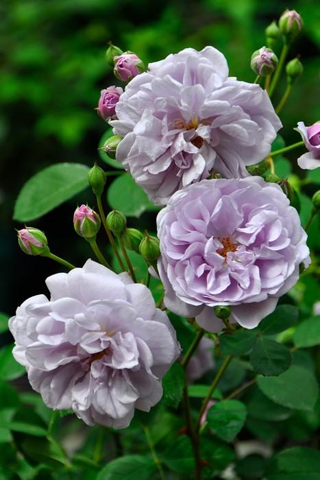 【予約大苗】バラ苗 レイニーブルー (Cl藤) 国産苗 6号鉢植え品《J-IRM2》※2月末までにお届け