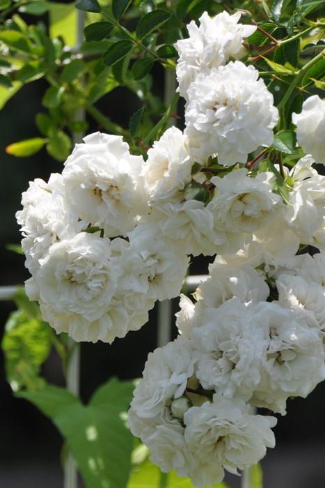 バラ苗【中苗】ホワイトドロシーパーキンス (R白) 国産苗 6号鉢植え品【即納】《J-OC20》