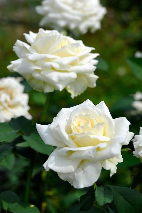 【大苗】バラ苗 ティネケ (HT白) 国産苗 6号鉢植え品《J-MB15》
