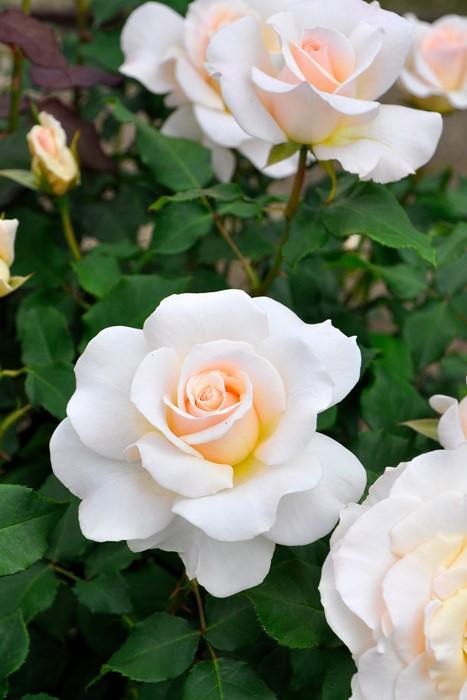 バラ苗【新苗】フレンチレース (FL白) 国産苗《J-FL10》 0415販売