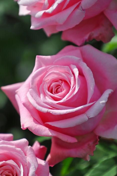 【大苗】バラ苗 ベリンダズドリーム (HT桃) 国産苗 6号鉢植え品《YM-B20》
