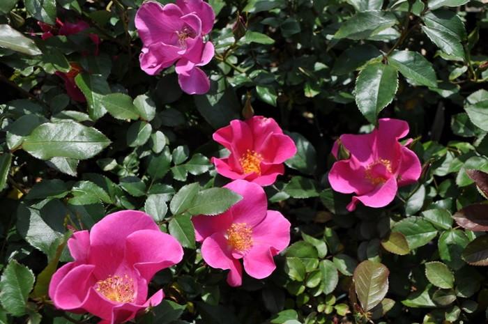 【大苗】バラ苗 プレイガール (FL濃桃) 国産苗 6号鉢植え品《J-FL20》 0321追加