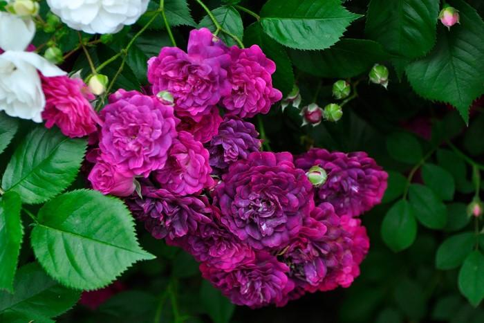 バラ苗【6号新苗】ブルーマジェンタ (R紺紫) 国産苗 6号鉢植え品《J-OC20》 0707販売