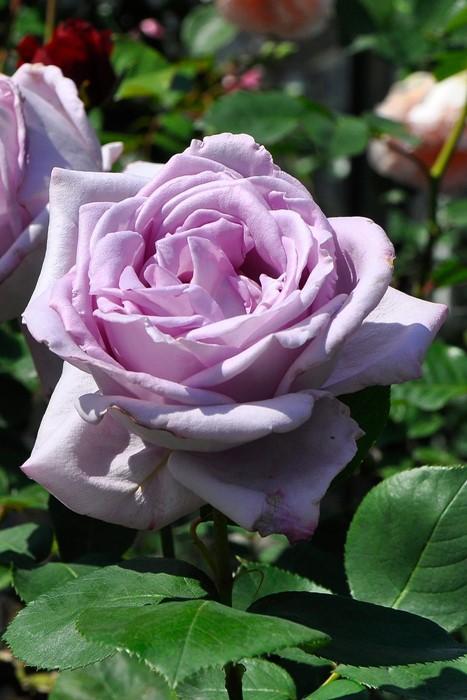 【予約大苗】バラ苗 ブルームーン (HT紫) 国産苗 6号鉢植え品《J-MB15》※2月末までにお届け