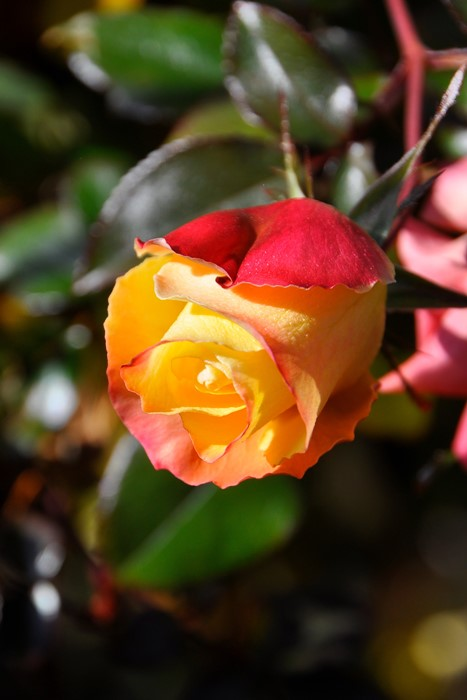 【大苗】バラ苗 プレイボーイ (FL橙) 国産苗 6号鉢植え品《J-FL20》 0321追加