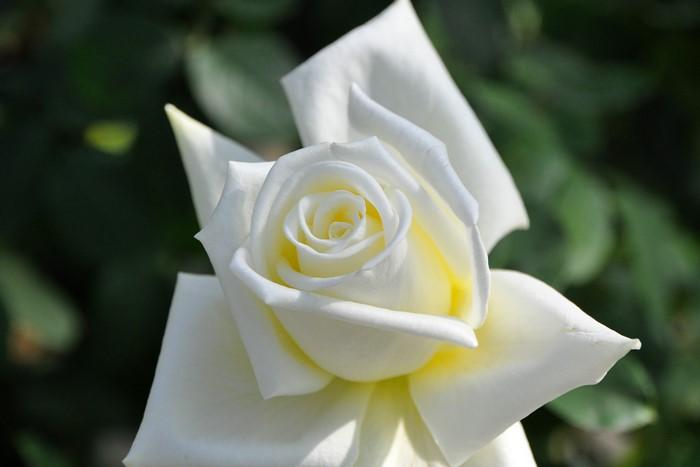 バラ苗【中苗】そどおり姫【ソドオリヒメ】(HT白) 国産苗 6号鉢植え品《J-HT20》