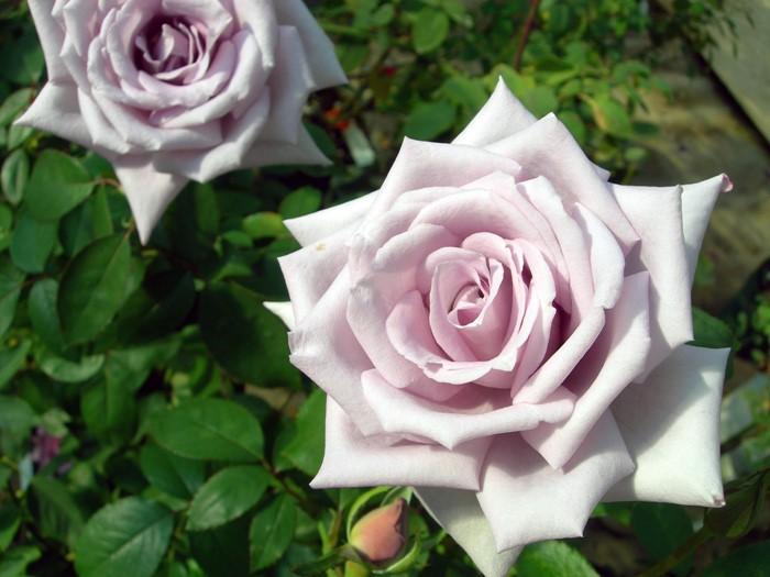 【大苗】バラ苗 マダムヴィオレ【マダムビオレ】(HT紫) 国産苗 6号鉢植え品《J-MB15》