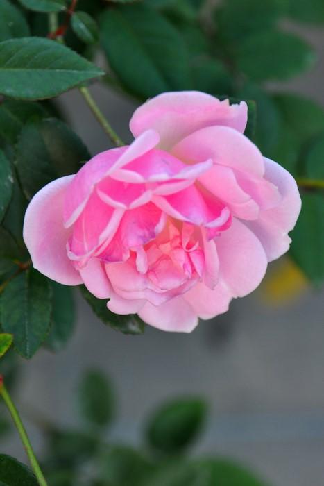 【大苗】バラ苗 ナタリーニペルズ (Pol桃) 国産苗 6号鉢植え品【即納】《N-OB》