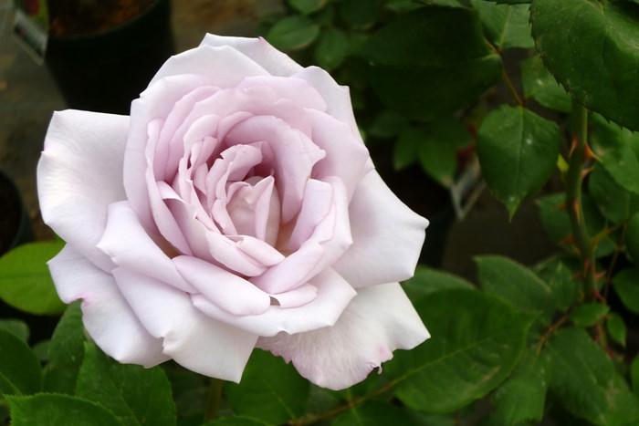 【大苗】バラ苗 シルバーシャドウズ (HT淡紫) 国産苗 6号鉢植え品《J-HT20》