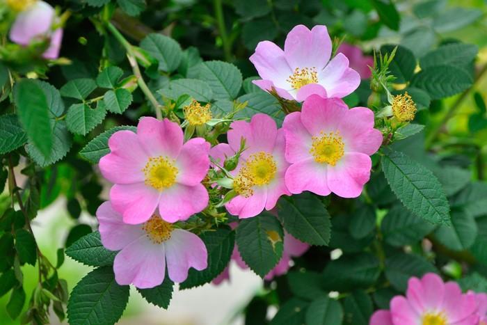 バラ苗【中苗】ロサエグランテリア (Sp桃) 国産苗 6号鉢植え品【即納】《J-NC15》