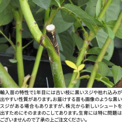 【大苗】バラ苗 レディエマハミルトン (ER橙) 輸入苗 7号鉢植え品[農林水産省 登録品種]《ER-Y》