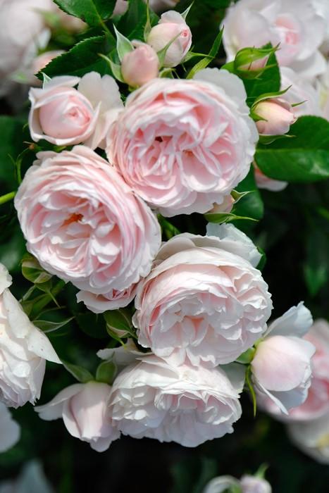 バラ苗【中苗】ハンスゲーネバイン (FL淡桃) 国産苗 6号鉢植え品【即納】《J-IRM2》