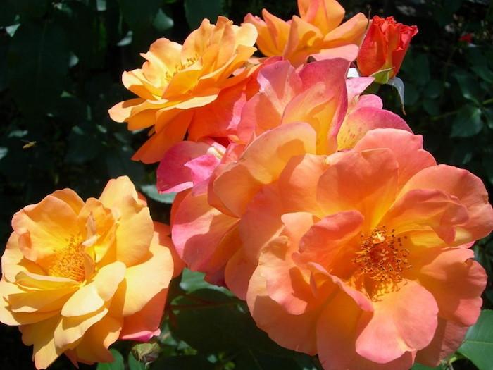 【大苗】バラ苗 アンネの思い出 (FL複橙) 国産苗 6号鉢植え品《J-MB15》