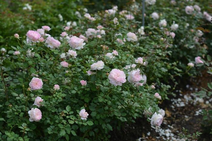 【大苗】バラ苗 マリーヌ (RM桃) 国産苗 6号鉢植え品【即納】《Kb-RM》2019新品種春