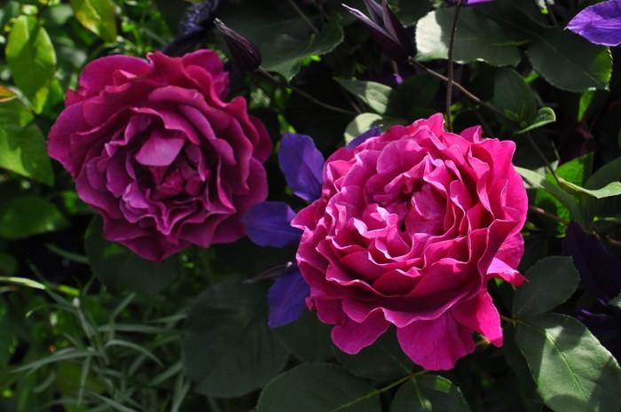 【大苗】バラ苗 パープルスプレンダー (FL赤紫) 国産苗 6号鉢植え品《J-FL20》