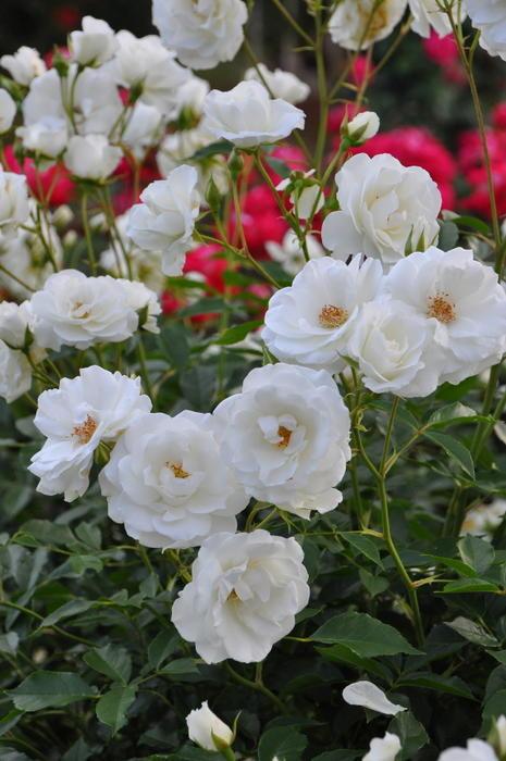 【大苗】バラ苗 アイスバーグ (FL白) 国産苗 6号鉢植え品【即納】《YM-B_J-MB》 0405追加