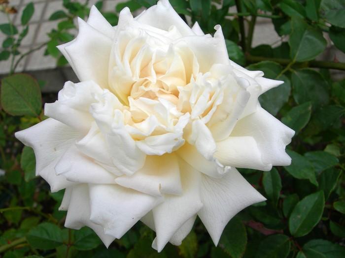 バラ苗【中苗】つるホワイトママンコシェ (ClT白) 国産苗 6号鉢植え品【即納】《J-OC20》