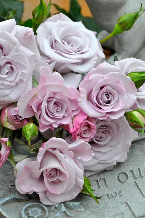 【大苗】バラ苗 リトルシルバー (FL紫) 国産苗 6号鉢植え品《J-FL20》