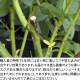 【大苗】バラ苗 ウインドラッシュ (Sh白) 国産苗 6号鉢植え品《J-SHE》