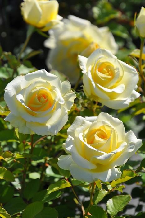 【大苗】バラ苗 エリナ (HT淡黄) 国産苗 6号鉢植え品《YM-B_J-MB》