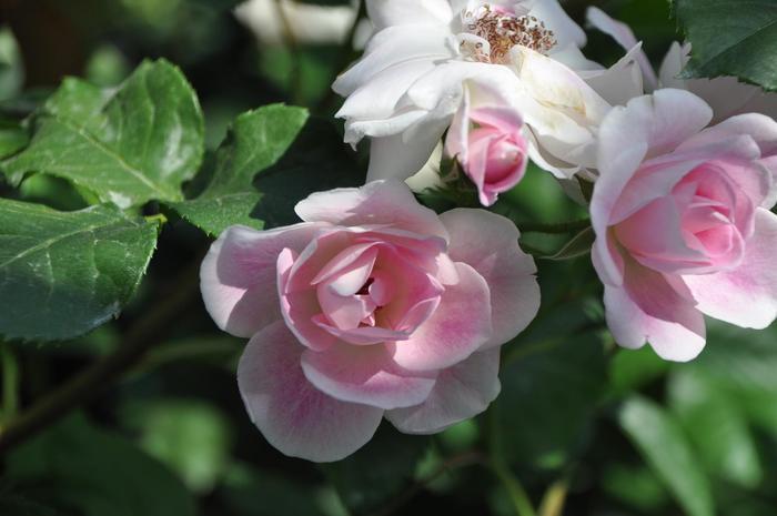 【大苗】バラ苗 ピンクアイスバーグ (FL桃) 国産苗 6号鉢植え品《YM-B_J-MB》
