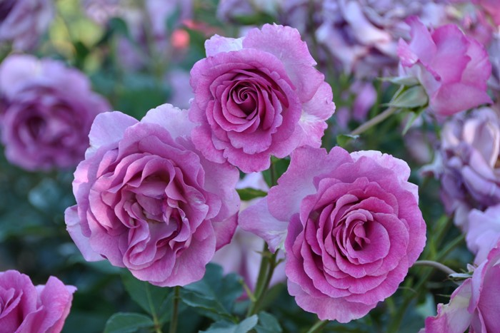 【大苗】バラ苗 ヴィオレパルフュメ (Dor紫) 国産苗 6号鉢植え品【即納】[契約品種]《Han-DOR》