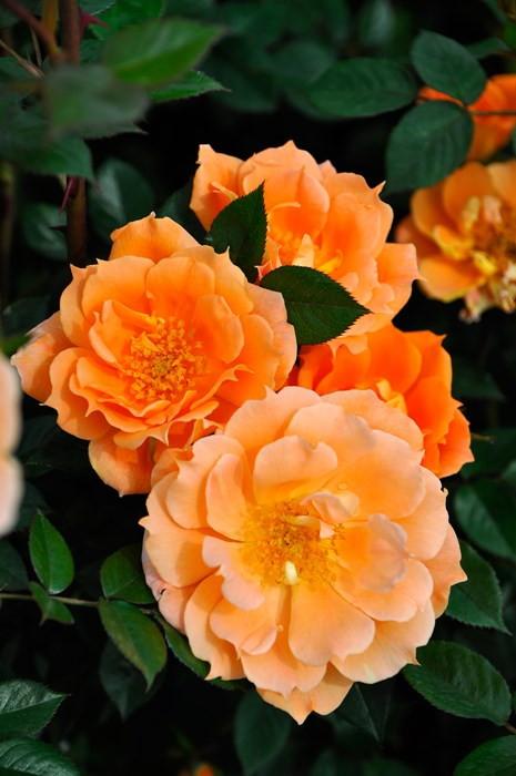 バラ苗【6号新苗】ブリッジオブサイツ (Cl橙) 国産苗 6号鉢植え品《J-CL20》 0707販売