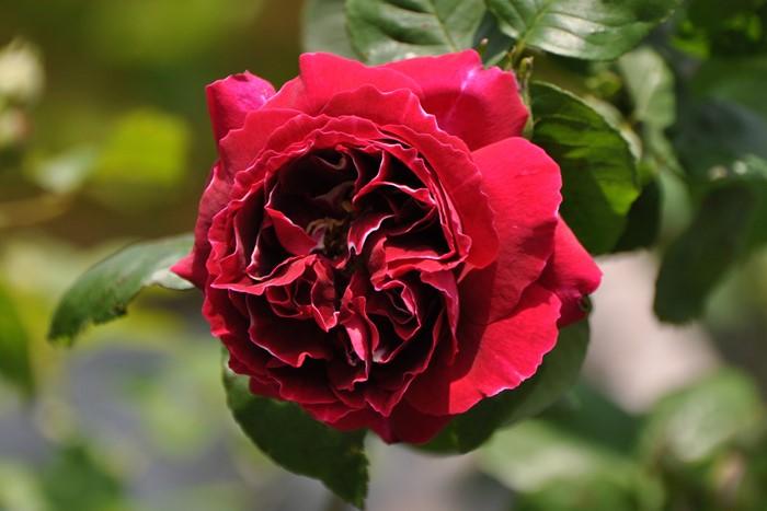 【大苗】バラ苗 バロンジロードゥラン (HP覆赤) 国産苗 6号鉢植え品《J-MC15》