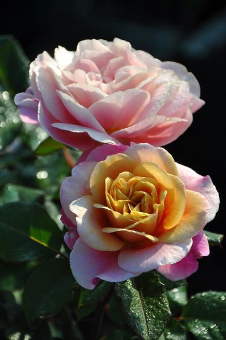 【大苗】バラ苗 ディスタントドラムス (FL複茶桃) 国産苗 6号鉢植え品【即納】《J-MB15》 0405追加