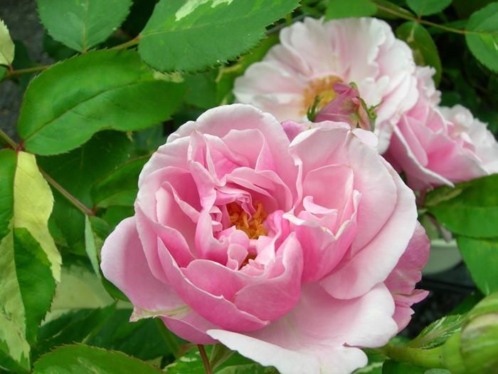 【大苗】バラ苗 ヘルシューレン (HT桃) 国産苗 6号鉢植え品《J-HT20》 0321追加