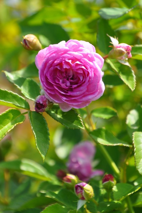 【大苗】バラ苗 アントマギーズローズ () 国産苗 6号鉢植え品《J-OC20》