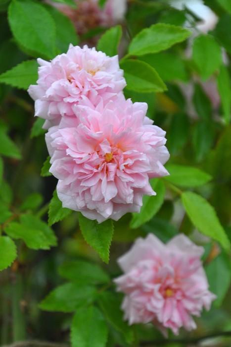 【大苗】バラ苗 メルズヘリテージ (R杏桃) 国産苗 6号鉢植え品《J-OC20》2020春新品種