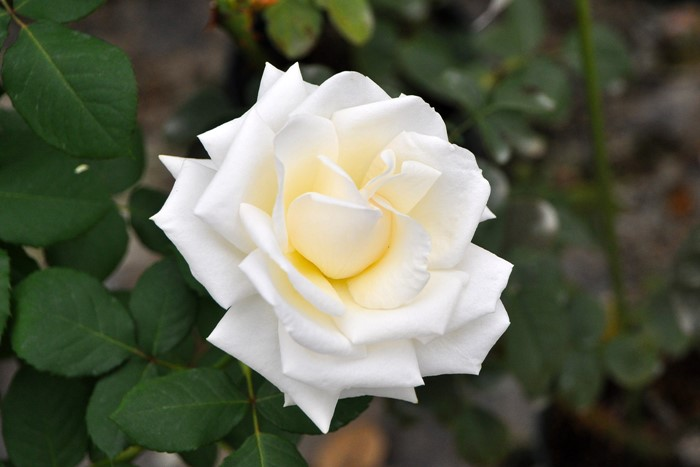 【大苗】バラ苗 ロイヤルフィルハーモニック (HT白) 国産苗 6号鉢植え品《J-HT20》
