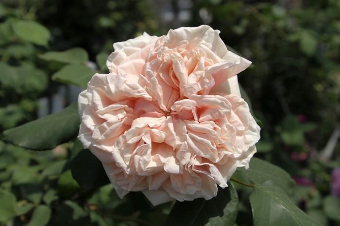 バラ苗【6号新苗】グロワールドゥディジョン (ClT橙) 国産苗 6号鉢植え品《J-OC20》 0707販売